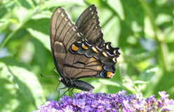 Mörk fas kvinnliga östliga Tiger Swallowtail Butterfly royaltyfri fotografi