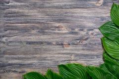 Mörk gammal träbakgrund med den härliga nya hostaen lämnar ordnat i ett hörn Tappningmodell Vinkelgränsdesign Top beskådar Arkivfoto