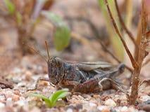 Mörk gräshoppa på sand fotografering för bildbyråer