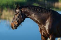 mörk häst Royaltyfri Bild