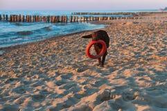 Mörk hund med en leksak på stranden, stor hund som spelar på stranden, hund som omkring kör på stranden med en leksak i hans tänd royaltyfri bild