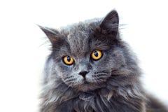Mörk katt på vit bakgrund arkivbilder