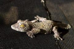 Mörk mossig blad-tailed gecko Arkivfoton
