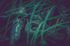 Mörk orm i gräset fotografering för bildbyråer