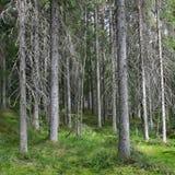 Mörk prydlig skog i en solig sommardag fotografering för bildbyråer