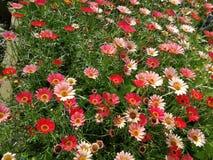 Mörk - rött och ljust - rosa matta av blommor fotografering för bildbyråer