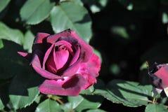 Mörk rosa färgros som glittrar med waterdrops i solen royaltyfri bild