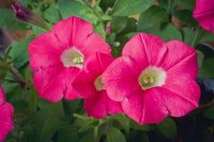 Mörk rosa petunia royaltyfri fotografi