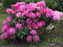 Mörk rosa rhododendron, blomma buske rikt, populär trädgårdbuske fotografering för bildbyråer