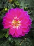 Mörk rosa zinnia arkivfoton