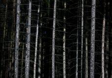 Mörk skog och vit trädnaturbakgrund Arkivbild