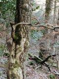 Mörk tät tilltrasslad skogsmark med den vridna träd- och järnekbusken arkivfoton