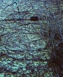 Mörk tegelstenvägg som flätas med filialer av druvor Royaltyfri Bild