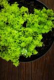 Mörk wood bakgrund för liten grekisk buskebasilika för blad Royaltyfri Bild
