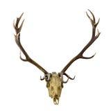 Mörka horn på kronhjort för hjortar med skallen på vit Arkivfoton