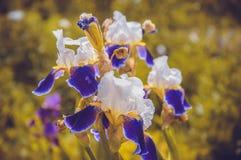 Mörka lilor blomma-de-luce Royaltyfria Bilder