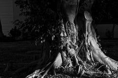 mörka lynniga treestammar Fotografering för Bildbyråer