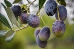 Mörka oliv på trädet Royaltyfri Bild