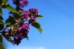 Mörka purpurfärgade lila blom i vår i klart väder, blå himmel, bakgrund arkivbilder