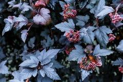 Mörka purpurfärgade sidor av växten med röda grupper, höstwalpaper Arkivfoto