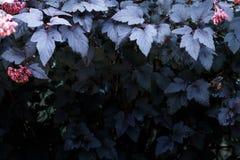 Mörka purpurfärgade sidor av växten med röda grupper, höstwalpaper Ljus överkant, mörkerbotten Royaltyfria Foton