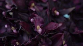Mörka purpurfärgade violetblommor arkivfilmer