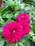 Mörka rosa färgblommor Royaltyfri Fotografi