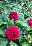 Mörka rosa färgblommor Royaltyfri Foto