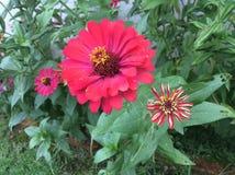 Mörka rosa fuchsiablommor Royaltyfria Foton