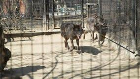 Mörka varger som kör runt om buren av en zoo arkivfilmer