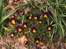 Mörka Violet And Yellow Pansies Royaltyfri Foto