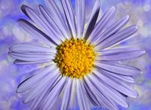 Mörkblå camomile Royaltyfri Fotografi