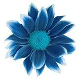 Mörker - blå cyan blomma som isoleras på vit bakgrund Närbild element för klockajuldesign royaltyfri foto