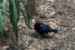 Mörker - blå fågel Royaltyfria Bilder