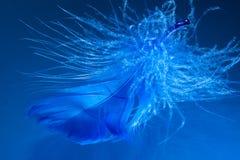 Mörker - blå fjäder Arkivbilder
