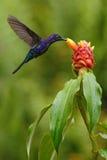 Mörker - blå kolibri Violet Sabrewing från det Costa Rica flyget bredvid den härliga röda blomman Royaltyfria Foton