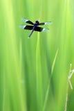 Mörker - blå slända i gräs arkivbild