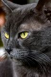 Mörker - grå kattcloseup Royaltyfri Bild