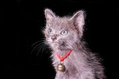 Mörker - grå kattunge som isoleras på svart bakgrund, halloween stil Royaltyfri Bild
