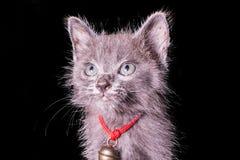 Mörker - grå kattunge som isoleras på svart bakgrund, halloween stil Royaltyfri Foto