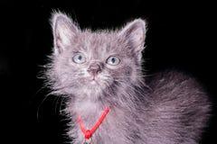 Mörker - grå kattunge som isoleras på svart bakgrund, halloween stil Fotografering för Bildbyråer