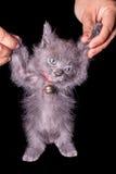 Mörker - grå kattunge som isoleras på svart bakgrund, halloween stil Royaltyfria Foton