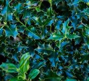 Mörker - grön lövverk av en sund växt med sågtandade sidor som glittrar med regndroppar Arkivfoto