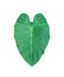 Mörker - grönt hjärtablad från tropiskt i Asien royaltyfri foto