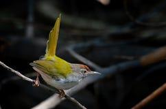 Mörker hånglad tailorbird Royaltyfri Bild
