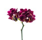 Mörker-körsbär orkidé som isoleras på viten Arkivbild