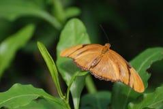 Mörker - orange Julia Butterfly som vilar i det löst Arkivbilder