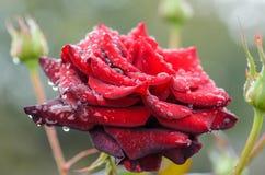 Mörker - röd ros med regndroppar Arkivfoto