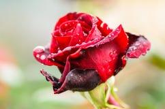 Mörker - röd ros med regndroppar Arkivbilder