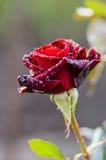 Mörker - röd ros med regndroppar Royaltyfria Foton